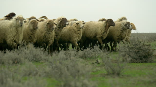 azerbaijan sheep - flock of sheep stock videos and b-roll footage