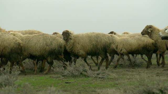 azerbaijan sheep - kaukasus geografische lage stock-videos und b-roll-filmmaterial