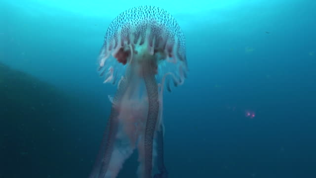 Azores, Atlantic Ocean, MS of jellyfish travelling in blue water. LICENSING OF THIS CLIP REQUIRES SPECIAL PERMISSION.