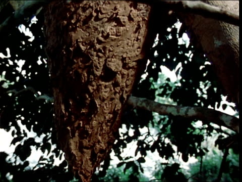 azteca ants swarm over a tree trunk. - invertebrate stock videos & royalty-free footage