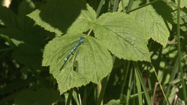 azure damselfly landing on a leaf - invertebrate stock videos & royalty-free footage
