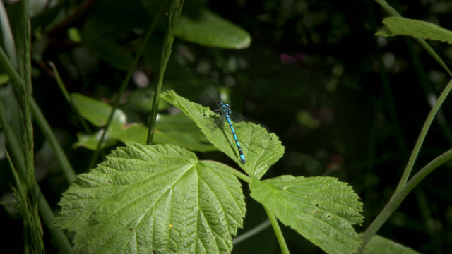 azure damselfly resting on a leaf before taking off - invertebrate stock videos & royalty-free footage