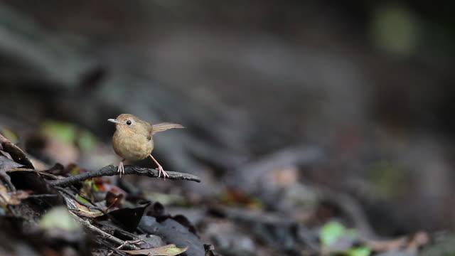 babbler bird : buff-breasted babbler (pellomeum tickelli) - songbird stock videos & royalty-free footage