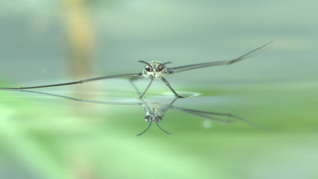 babies of water strider on the water surface - medium group of animals stock videos & royalty-free footage