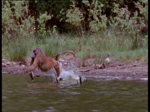 baboon attempts to run across lake but trips up with a splash, kenya - misfortune stock videos & royalty-free footage