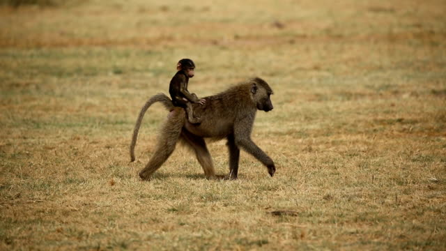 stockvideo's en b-roll-footage met baboon- baby on mother's back - dierenfamilie