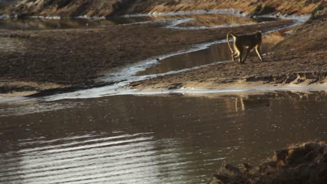 vídeos y material grabado en eventos de stock de ws baboon drinking water from the river / lukuzi, eastern, zambia - small group of animals