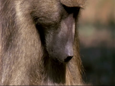 CU Baboon eating, pans down to see baboon foraging through elephant dung, Mana Pools, Zimbabwe