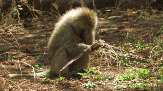 baboon (papio sp.) eating seeds, lake manyara, tanzania - herbivorous stock videos & royalty-free footage