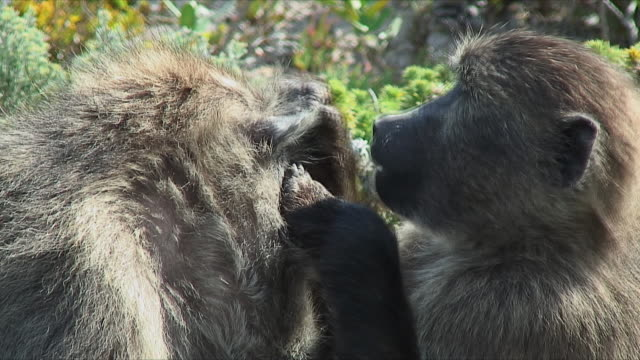 cu td baboon family grooming, picking fleas / cape of good hope, south africa - flea insect stock videos and b-roll footage