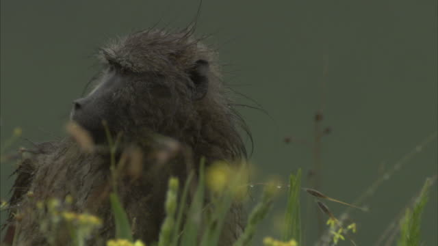 stockvideo's en b-roll-footage met a baboon forages in tall grass. available in hd - foerageren