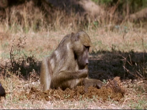 ms baboon foraging through and eating elephant dung, mana pools, zimbabwe - foraging stock videos & royalty-free footage