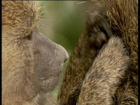 Baboon grooms another's fur, Kenya