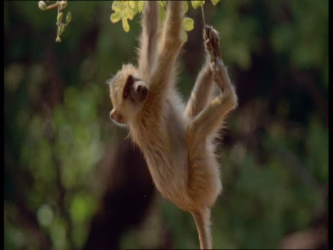 stockvideo's en b-roll-footage met a baboon hangs from a sausage tree beneath a second baboon. - plant attribute