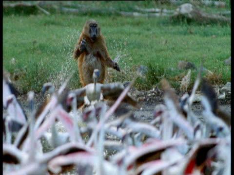 baboon leaps into lake and pursues flock of flamingos, kenya - flamingo bird stock videos & royalty-free footage