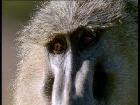baboon looks around looking thoughtful, kenya - animal eye stock videos & royalty-free footage