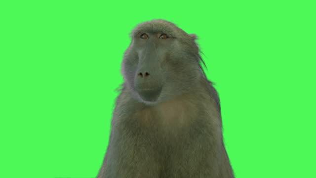 Baboon Monkey Animal on Green screen