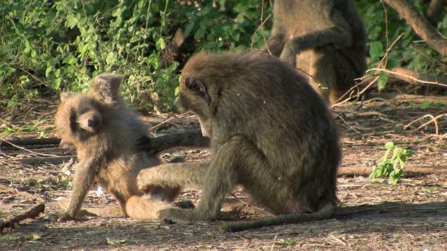 baboon monkey lousing
