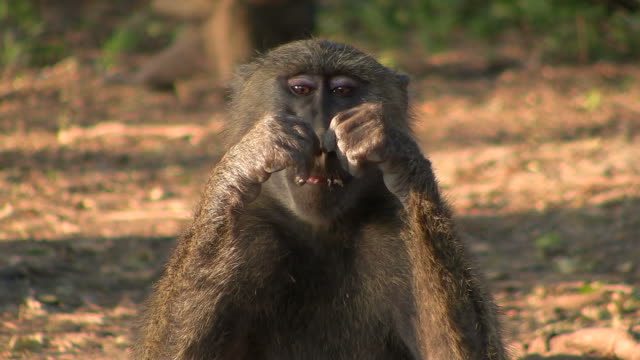 baboon monkey - ethiopia stock videos and b-roll footage
