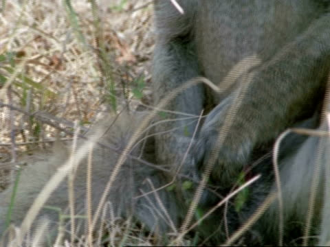 baboon playing with himself, cu, tanzania - tierpenis stock-videos und b-roll-filmmaterial