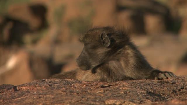 vídeos y material grabado en eventos de stock de a baboon rests its head on a rock. available in hd. - zoología