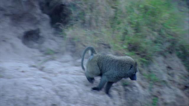MS TS Baboon running at riverside / Kenya