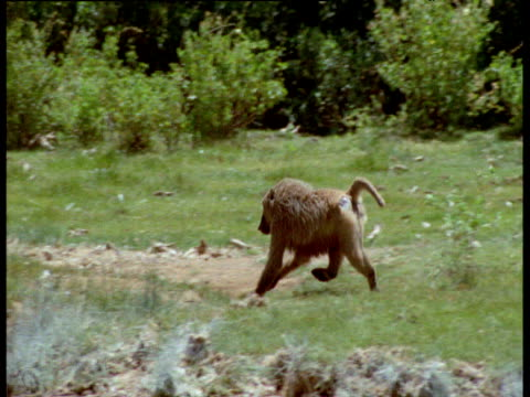 vídeos de stock e filmes b-roll de baboon runs and leaps into soda lake and grabs flamingo, kenya - apanhar comportamento animal