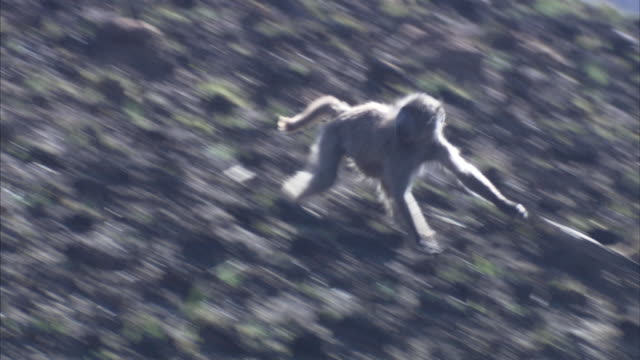 A baboon runs down a hillside. Available in HD