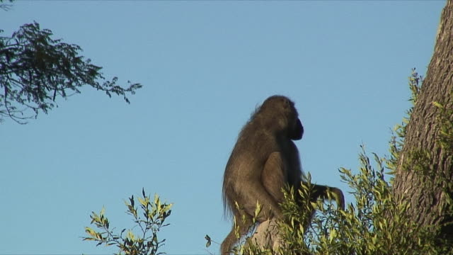 vídeos de stock, filmes e b-roll de ws baboon sitting on top of tree / okavango delta, botswana - um animal