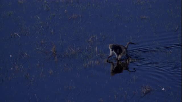 a baboon traipses through flood waters of the okavango delta. available in hd. - オカバンゴデルタ点の映像素材/bロール