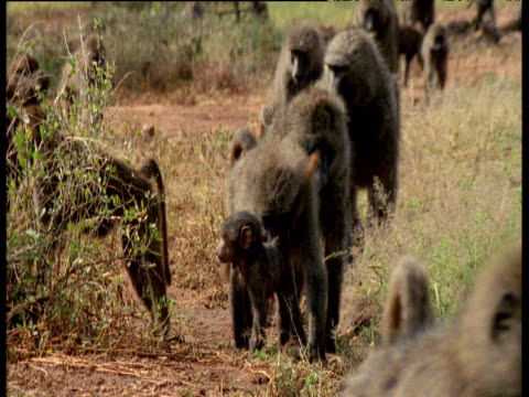 Baboon troop walks towards camera, Kenya