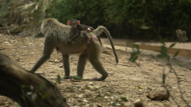 Baboon with Baby in Samburu National Reserve, Kenya