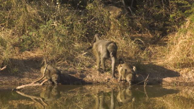 Baboons Drink from Waterhole