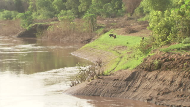 baboons eat grass on a riverbank. available in hd - futter suchen stock-videos und b-roll-filmmaterial