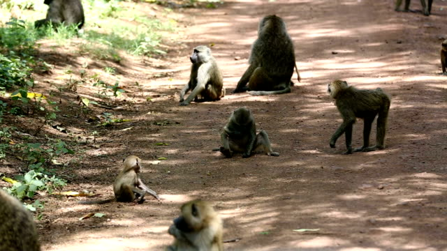 baboons feeding - baboon videos stock videos & royalty-free footage