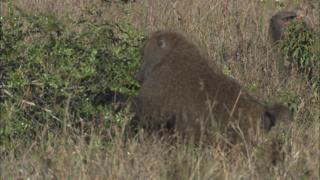 stockvideo's en b-roll-footage met baboons forage in shrubs and tall grass. - foerageren