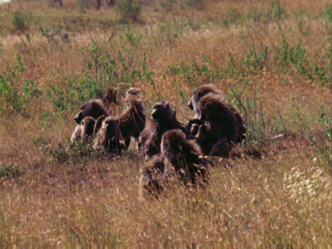 vidéos et rushes de baboons grooming - groupe moyen d'animaux