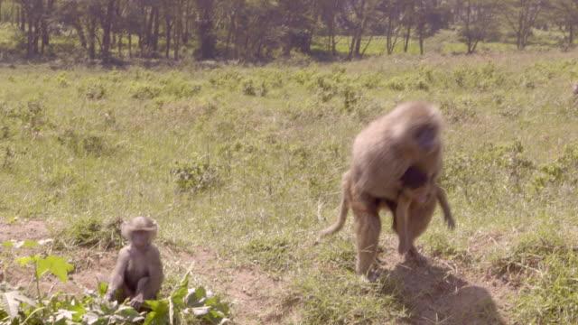 Baboons in Masai Mara, Kenya