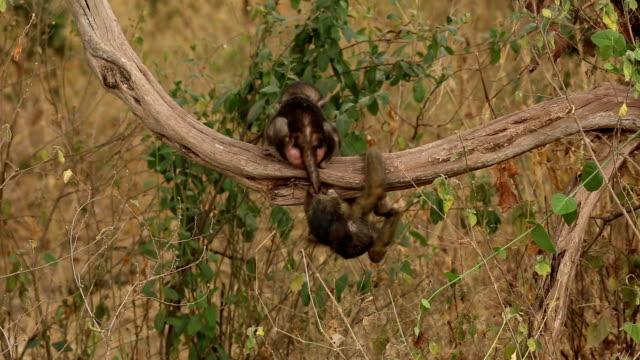 Baboons on a tree- Tanzania