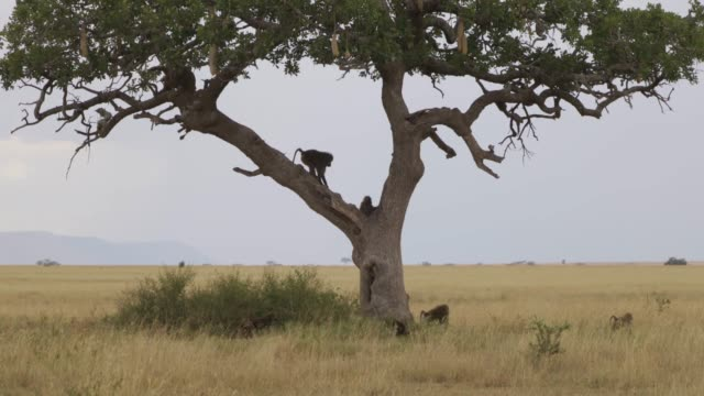 baboons  sitting on a kigelia tree - grass area stock videos and b-roll footage