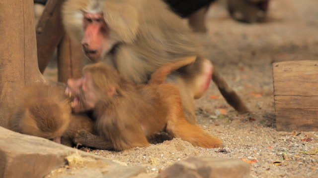 baboons - monkey stock videos & royalty-free footage