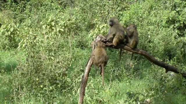 baboons - baboon videos stock videos & royalty-free footage