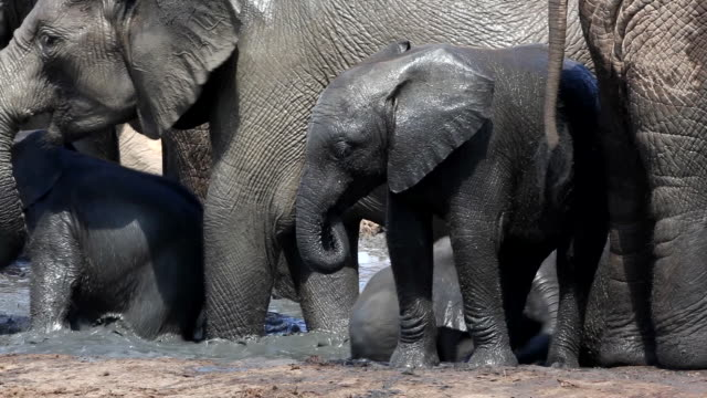 baby african elephant (loxodonta africana) at waterhole, addo elephant national park, southern cape, south africa - wildtier stock-videos und b-roll-filmmaterial