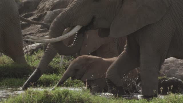 Baby African elephant (Loxodonta africana) drinks and wades in stream, Kenya