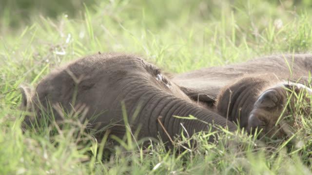 Baby African elephant (Loxodonta africana) lying down, Kenya