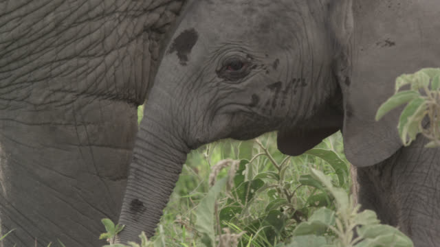 Baby African elephant (Loxodonta africana) on savannah, Kenya