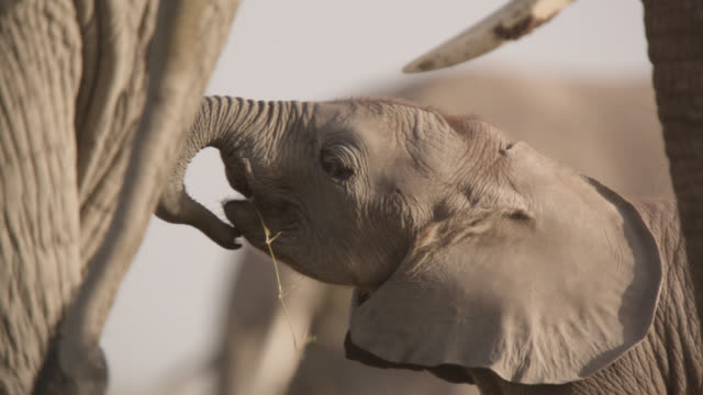 baby african elephant (loxodonta africana) plays with grass, kenya - calf stock videos & royalty-free footage