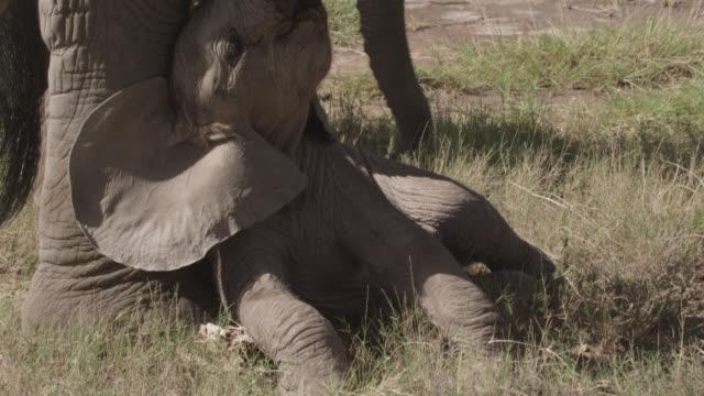 baby african elephant (loxodonta africana) rests on savannah, kenya - calf stock videos & royalty-free footage