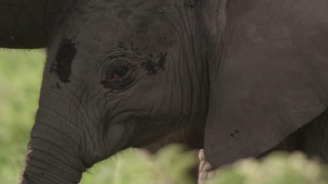 Baby African elephant (Loxodonta africana) shelters under adult, Kenya