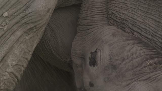 Baby African elephant (Loxodonta africana) suckling, Kenya